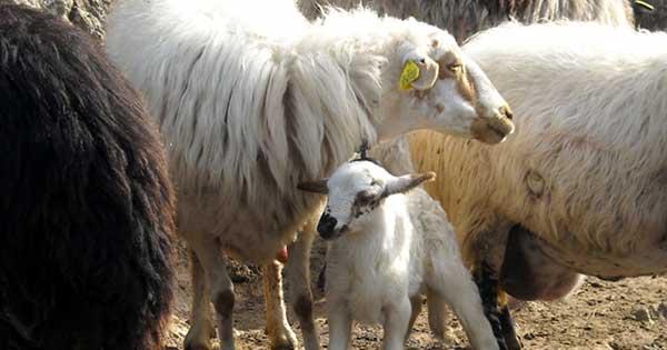 Παράγοντες που επηρεάζουν την Γαλακτοπαραγωγή Venter Προβατοτεχνική