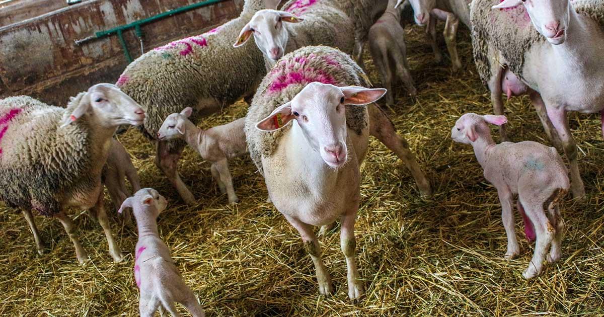Αρμεκτικά Κτηνοτροφικά Συστήματα Venter Προβατοτεχνική