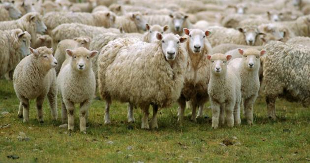 Κοπαδι με προβατα